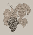 grapes vintage hand drawn vector image