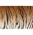 tiger fur stripe pattern vector image