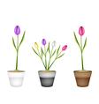 Fresh Tulip Flowers in Three Ceramic Pots vector image