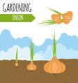 Garden Onion Plant growth vector image