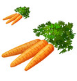 carrots isolated on white background detailed vector image vector image