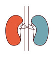 color sections simple silhouette renal system of vector image vector image
