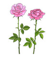 two pink roses with leaves and stems realistic vector image