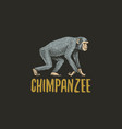 chimpanzee engraved hand drawn in old sketch style vector image