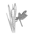 dragonfly on reeds sketch vector image