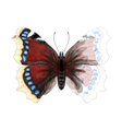 Butterfly Numphalis Antiopa vector image vector image