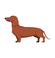 dachshund purebred dog pet animal side view vector image vector image