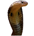 King Cobra vector image vector image