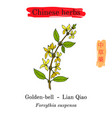 medicinal herbs of china golden bell forsythia vector image vector image