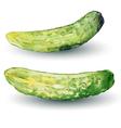 cucumber watercolor vector image