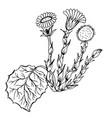 doodle tussilago medicinal plant black vector image