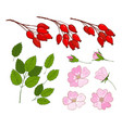 a set of dog-rose set of isolated berries vector image vector image