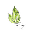 chicory fresh culinary plant green seasoning vector image vector image