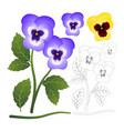 violet and yellow viola garden pansy flower with vector image vector image