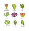 fresh herbs set oak leaf romaine chard mache vector image vector image