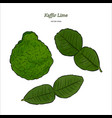 kaffir lime vector image vector image