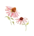 Watercolor pink echinacea flower vector image