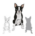 boston terrier dog breed isolated on white vector image vector image