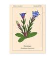 gentian gentiana loureiroi medicinal plant vector image vector image