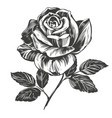 flower rose with leaves hand drawn vector image