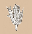 corn on cob vintage engraved botanical corn vector image vector image