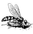 digger wasp cerceris vector image vector image
