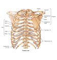 Ribcage posterior view vector image vector image
