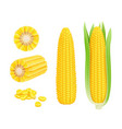 corn cob realistic yellow canned fresh corn vector image vector image