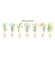 cereal grasses big collection plants and seeds vector image vector image