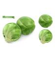 brussels sprout cabbage leaf vegetables 3d vector image vector image