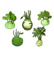 Fresh isolated kohlrabi cabbage vegetables vector image vector image