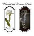 night blooming cereus cactus grandiflorus vector image