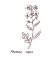 drawing rapeseed plant vector image