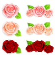 set roses with green leaves vector image