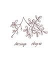 drawing moringa oleifera vector image vector image