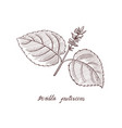 drawing perilla frutescens plant vector image vector image