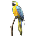 parrot blue yellow standing on branch vector image