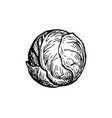 ink sketch brussels sprout vector image vector image