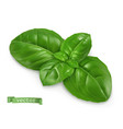 ocimum cooking basil 3d realistic food object vector image vector image