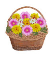 wicker basket with chrysanthemum flowers vector image vector image