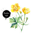hand drawn watercolor yellow buttercup flower vector image