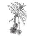 beech flower vintage vector image vector image