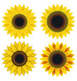 set of bright yellow sunflower vector image