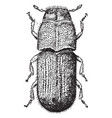 pine beetle vintage vector image vector image