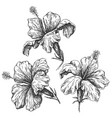 hibiscus flowers set sketch vector image