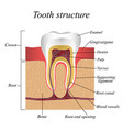 tooth structure training medical anatomical vector image