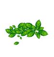 Fresh Thai Basil Leaves on White Background vector image vector image