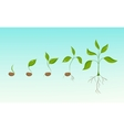 Plant growth evolution from bean seed to sapling vector image