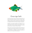 green tiger barb aquarium fish isolated on white vector image vector image