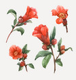 watercolor pomegranate flowers vector image vector image